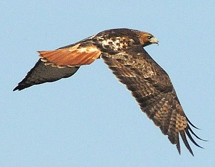 red_tailed_hawk_18