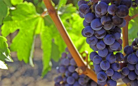 grapes-and-vine