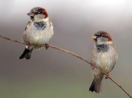 two-sparrows