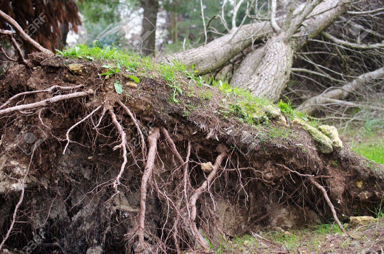 Roots-of-an-uprooted-tree-after-a-storm