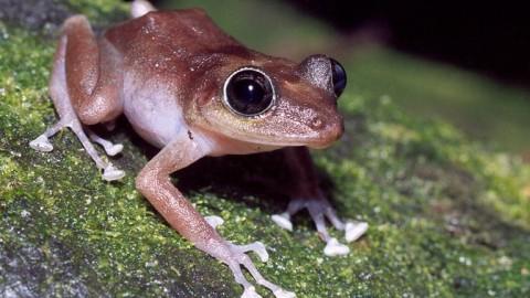 Puerto Rican tree frog